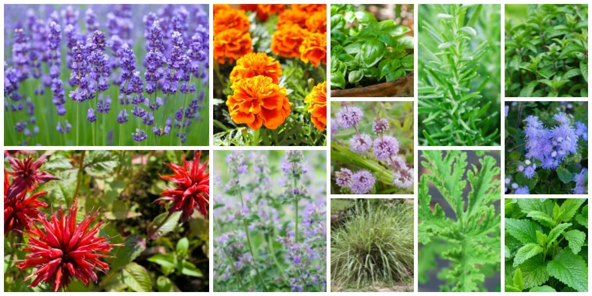 12 Awesome Mosquito Repellent Plants That Will Make You Go Outside Again Living Rich With Coupons